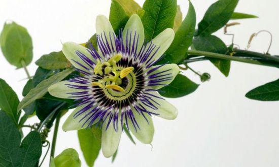 Superalimentos - Pasiflora
