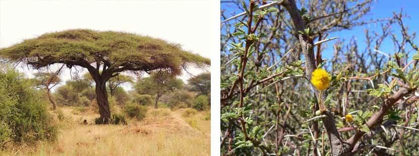 Acacia tortilis y ramas de Acacia