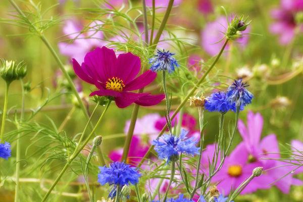 Áster flor amor