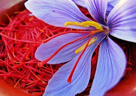 Azafrán - Flor