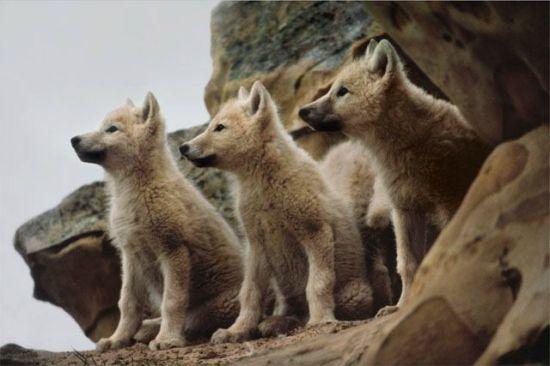 lobo animal de poder