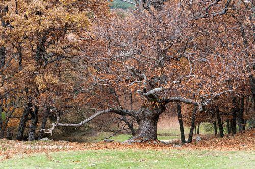 Castañar de El Tiemblo bosque