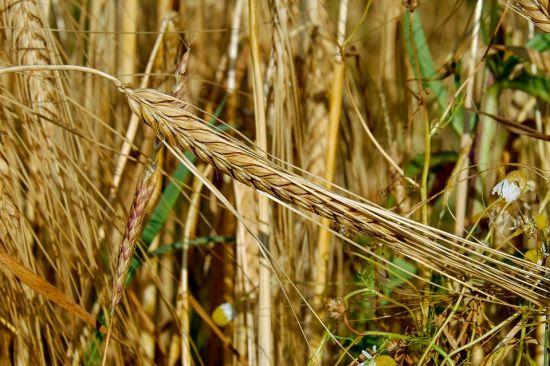 cereales-trigo-hongo