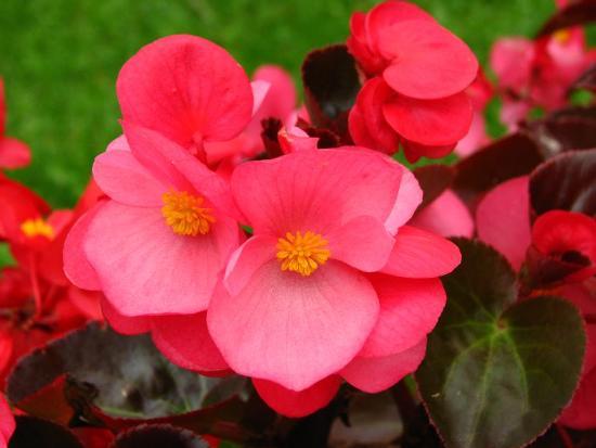 Flores comestibles - Begonias