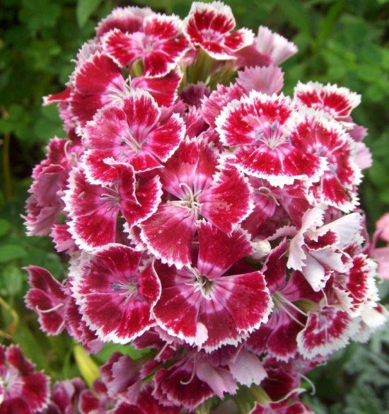 Flores comestibles - Cavel de los poetas