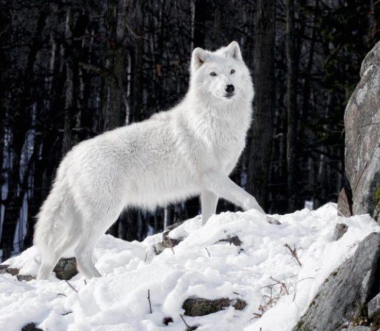 Lobo - Blanco
