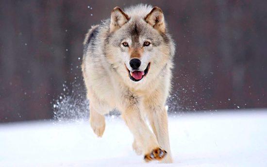 Lobo - Corriendo