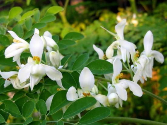 Moringa - Flores