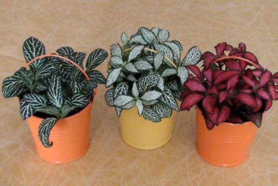 plantas de fitonia de colores