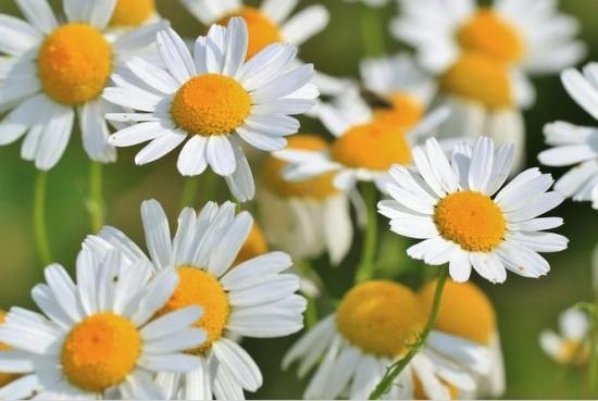 Plantas medicinales - Manzanilla