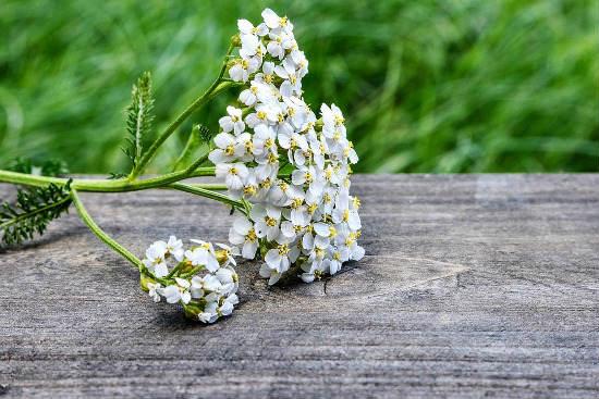 Flores medicinales - Milenrama