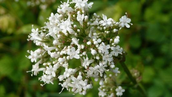 Remedios naturales - Valeriana