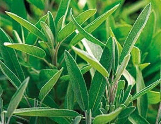 Plantas medicinales para la mujer - Salvia