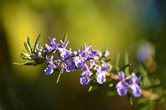 Romero - flores