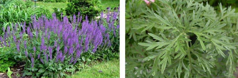 Salvia y artemisa