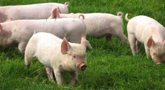 Soñar con animales - Cerdos