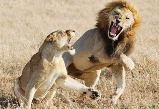 Soñar con animales - Lucha