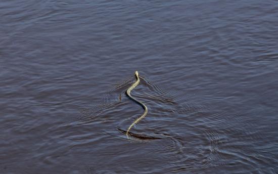 Colúbridos en el agua