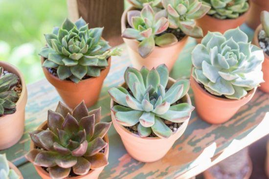 suculentas plantas de interior