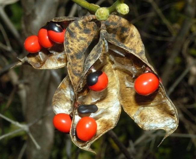 Semillas de huayruro un regalo de los incas para nuestra for Donde venden plantas
